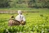 A man picking tea. Experts have called for more funding into the sector to create jobs and ensure quality. / Internet photo